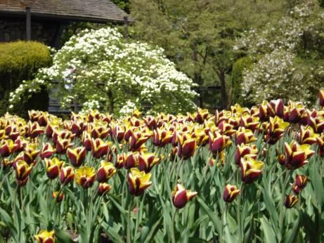 Stunning Tulips